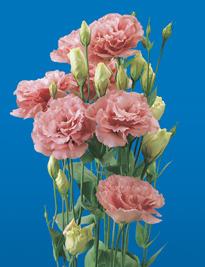 Lisianthus Pink 160 Flowers