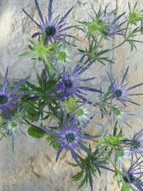 Eryngium 100 Blue Flowers