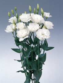 Lisianthus White 80 Flowers
