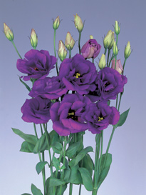 Lisianthus Purple 80 Flowers