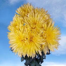 Chrysanthemums Yellow Fuji Spider Mums 200 Flowers