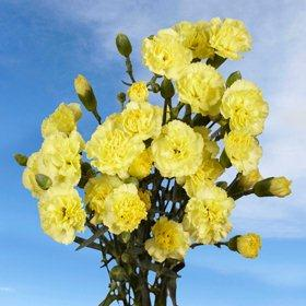 Yellow Spray Mini Carnations 300