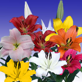Asiatic Lilies Assorted 120 Flowers 24″ – 28″ Long