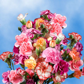 Assorted Color Spray Mini Carnations 300