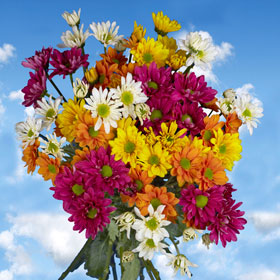 Chrysanthemums 36 Assorted Daisy  Stems  180 Blooms