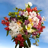Beautiful Assorted Select Alstroemeria Flowers