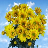 Beautiful Yellow Chrysanthemum Daisy Flowers