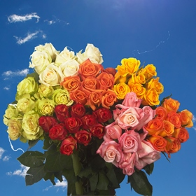 100 Best  Roses Assorted Colors  Four Different Colors   Great Value