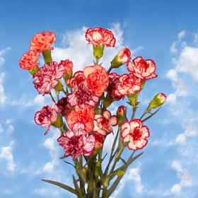Bi-Color Spray Mini Carnations 160