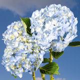 Blue hydrangea flower globalrose t