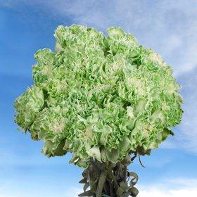 400 Bulk Green Carnations