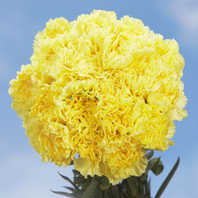 400 Bulk Yellow Carnations