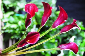 Mini Calla Lilies Burgundy Red 60 Flowers