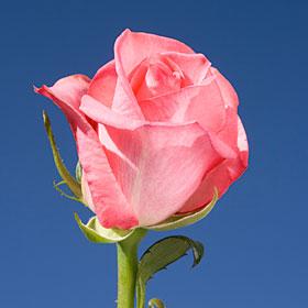 Eliza Roses 250