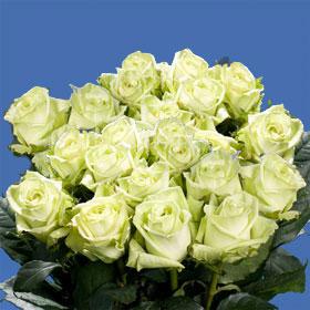 Green Tee Roses 250