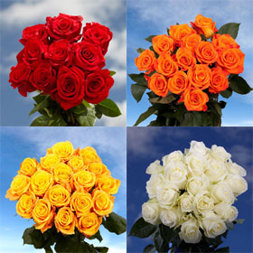 400 Buy Multi Colored Roses