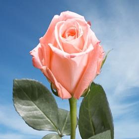 Versilia Roses 250  Peach Pink Roses