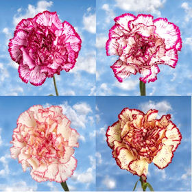 200 Cheap Bi-Color Carnations