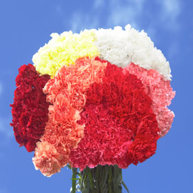 200 Beautiful Color Carnations