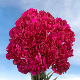 200 Cheap Purple Carnations