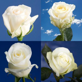 250 Cheap White Roses