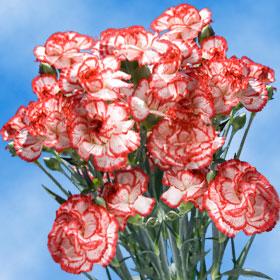 Christmas Color Spray Mini Carnations 300
