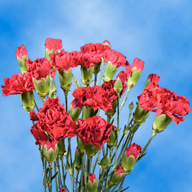 Hot Pink Spray Mini Carnations 300  Carnation Flowers