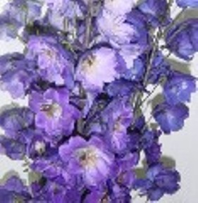 Delphinium Hybrid Assorted 30 Flowers 26″ – 28″ Long