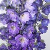 Delphinium Hybrid Assorted 120 Flowers 26″ – 28″ Long