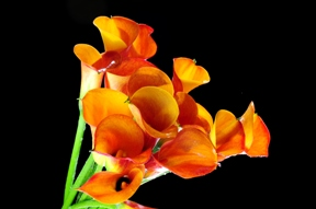 Mini Calla Lilies Mango Orange 240 Flowers