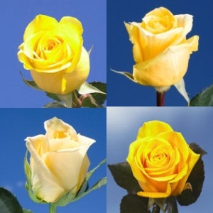 The language of roses global rose flower blog the language of roses mightylinksfo
