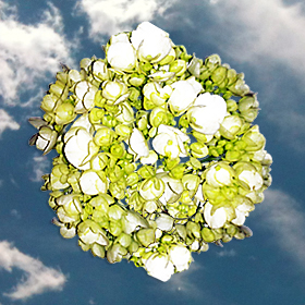 50 Hydrangeas Mini White-Green
