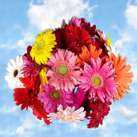 Gerberas Assorted Colors 135 Flowers