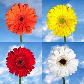 Gerberas Special Fall Colors 100 Flowers