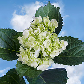30 Hydrangeas Light Green