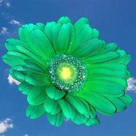 100 Green Tinted Gerberas