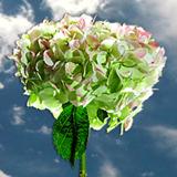 Hydrangeas flower globalrose t