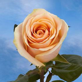 Light Peach Roses Global Rose