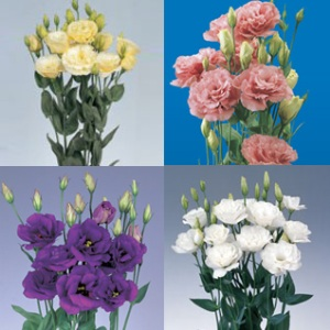 Lisianthus Assorted 80 Flowers 24″ – 28″ Long