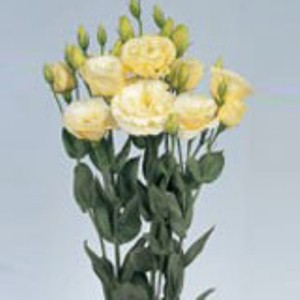 Lisianthus Yellow Creme 80 Flowers 24