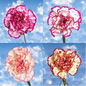 300 Long Stem Bi-Color Carnations