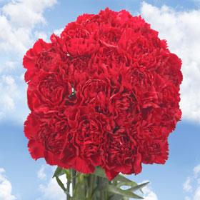 300 Long Stem Burgundy Carnations