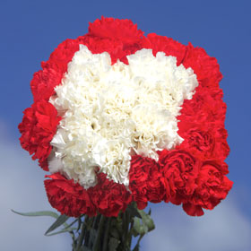 300 Long Stem Christmas Color Carnations