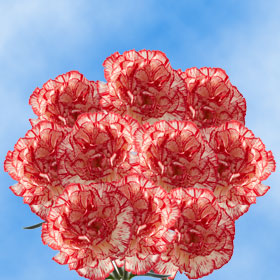 300 Long Stem Peppermint Carnations