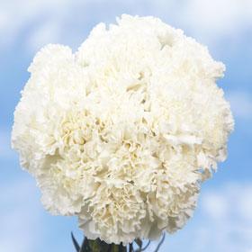 300 Long Stem White Carnations