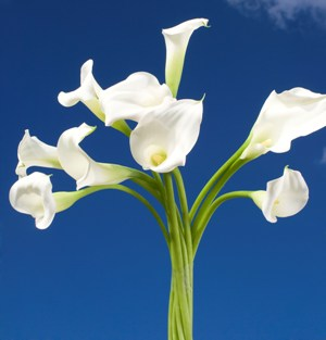 Mini Calla Lilies White 240 Flowers