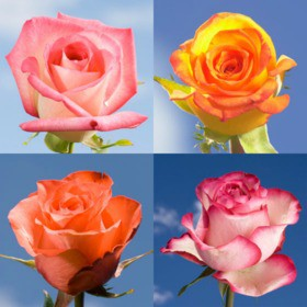 Multiple colored flowers global rose for Pictures of multi colored roses