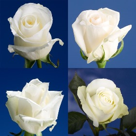 100 White Assorted Roses – Next Day Delivery