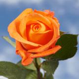 http://globalrose.com/Merchant5/graphics/00000001/orange-and-yellow-rose-globalrose-t.jpg
