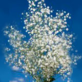 Order Baby's Breath